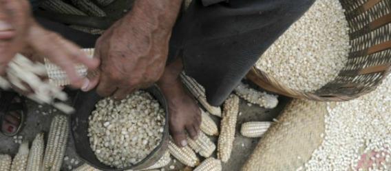 Mantienen prohibición de siembra del maíz transgénico