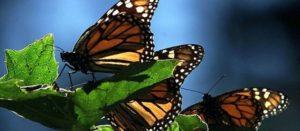 Monsanto deja al borde de la extinción a la mariposa más emblemática de Norteamérica