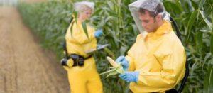 Siembra de maíz transgénico pondría en riesgo a más de sus 60 variedades: experto