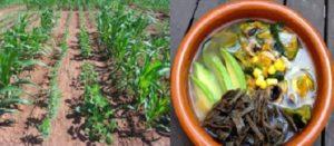 La dieta de la milpa: modelo de alimentación saludable y pertinente