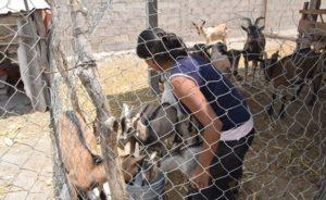 campo-mexicano-obeso-crianza-cabras