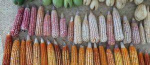 El maíz en tiempos de Trump. Una oportunidad para repensar el TLC