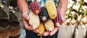 La propuesta de decreto presidencial que prohíbe el maíz transgénico y glifosato debe ser publicado en el DOF