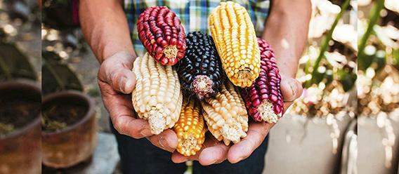Manos de hombre con seis mazorcas de maíz nativo mexicano