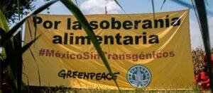 Manta de Greenpeace y la Campaña Sin Maíz No Hay Paísen el campo con la leyenda Por la soberanía alimentaria #MéxicoSinTrangénicos