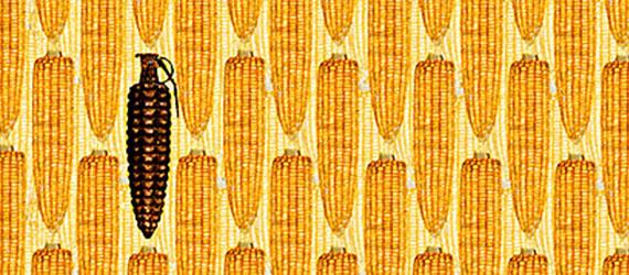 Ilustración maíz contaminado transgénico: mazorcas de maíz con una en forma de granada
